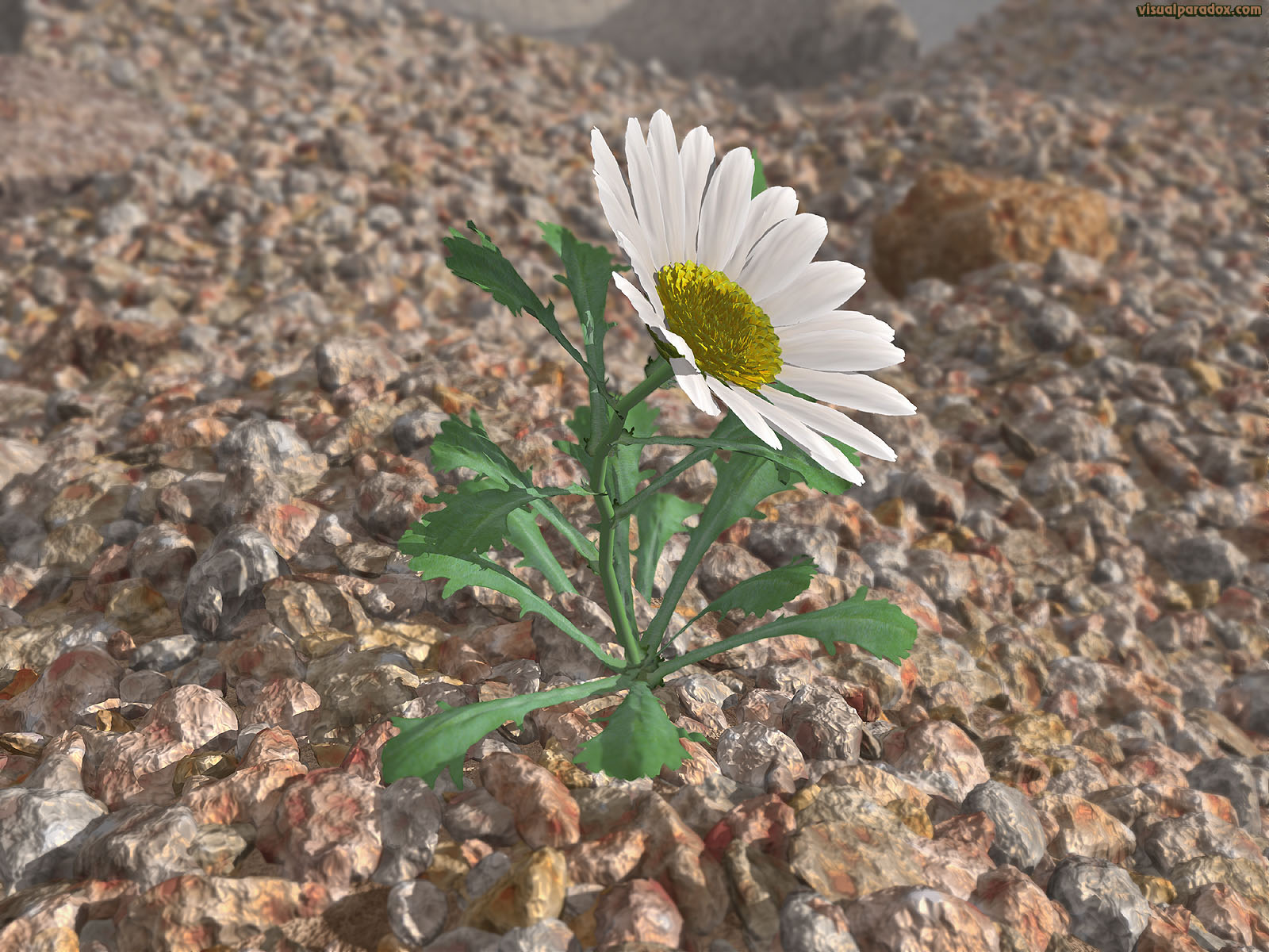 flower, wildflower, petal, weed, lonely, struggle, survive, Shasta, lazy, daisies, rocks, gravel, aggregate, lone, 3d, wallpaper