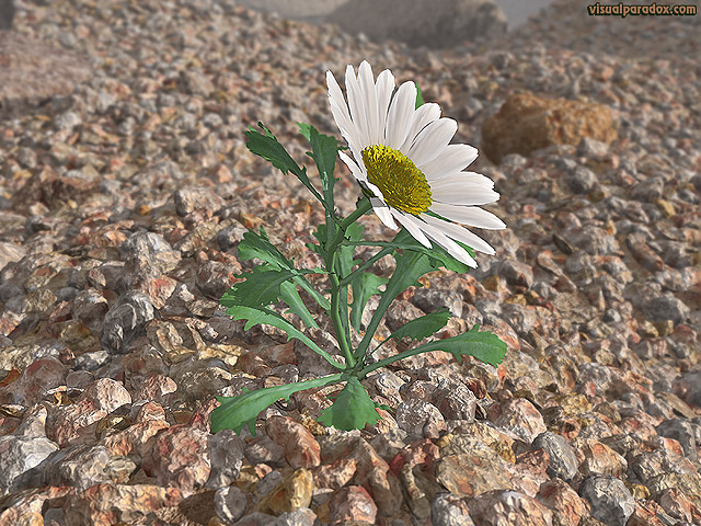 flower, wildflower, petal, weed, lonely, struggle, survive, Shasta, lazy, daisies, rocks, gravel, aggregate, lone, free, 3d, wallpaper