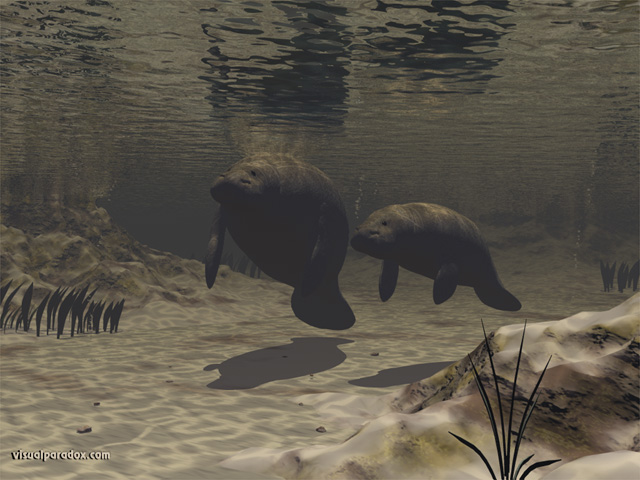 manatees, sea cows, underwater, mother, baby, tranquil, manatee, animal, animals, water, free, 3d, wallpaper
