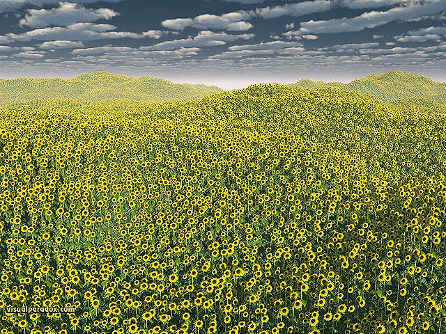 sunflowers, flowers, helianthus annuus, plants, field, clouds, flower, sunflower