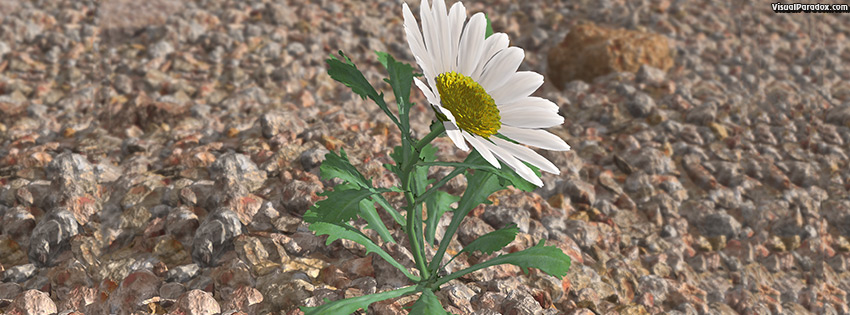 facebook, coverphoto, cover, flower, wildflower, petal, weed, lonely, struggle, survive, Shasta, lazy, daisies, rocks, gravel, aggregate, lone, 3d